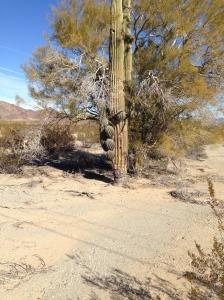 Cactus and Mesquite