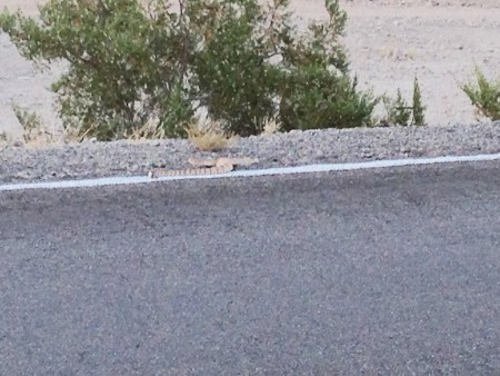 Rattlesnake on Dome Road, AZ